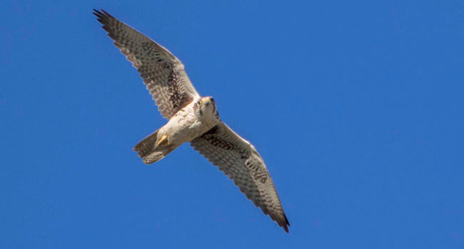 Research reveals new clues to hunting habits of elusive falcons